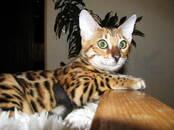 Кошки, котята Бенгальская, цена 1 300 бел. руб., Фото