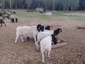 Животноводство,  Сельхоз животные Бараны, овцы, цена 6 бел. руб., Фото