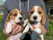Собаки, щенки Бигль, цена 500 бел. руб., Фото