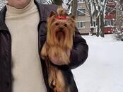 Собаки, щенки Йоркширский терьер, цена 150 бел. руб., Фото