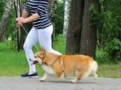Собаки, щенки Вельш корги пемброк, цена 1 800 бел. руб., Фото