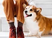 Собаки, щенки Вельш корги пемброк, цена 2 000 бел. руб., Фото