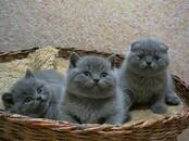 Кошки, котята Шотландская короткошерстная, цена 250 бел. руб., Фото