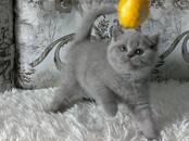 Кошки, котята Британская короткошерстная, цена 250 бел. руб., Фото