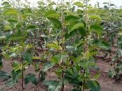 Сельское хозяйство Семена и рассада, цена 6 бел. руб., Фото