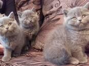 Кошки, котята Британская короткошерстная, цена 150 бел. руб., Фото