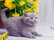 Кошки, котята Британская короткошерстная, цена 950 бел. руб., Фото
