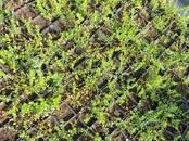 Домашние растения Плодовые деревья, саженцы, цена 3 бел. руб., Фото