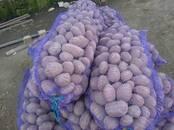 Продовольствие,  Овощи Картофель, цена 0.80 бел. руб./кг., Фото