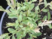Домашние растения Садовые растения, цена 7 бел. руб., Фото