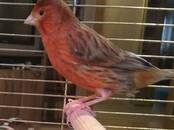 Попугаи и птицы Канарейки, цена 30 бел. руб., Фото
