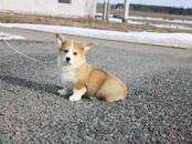 Собаки, щенки Вельш корги пемброк, цена 2 700 бел. руб., Фото